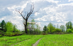 Dry Bare Tree Among Spring Greens. Rural path through a spring green meadow near dry bare tree against the background of wood and clouds Royalty Free Stock Photo
