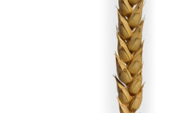 Dry barley ear closeup isolated on white background.  stock images