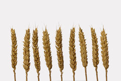 Dry barley ears  isolated on white background Royalty Free Stock Photo