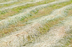 Dry barley Royalty Free Stock Images