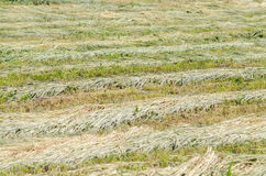 Dry barley Stock Images