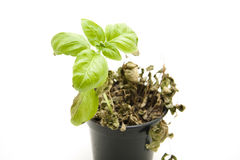 Dry basil Stock Photos