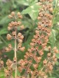Dry basil flower , basil flower , flowering basil royalty free stock photo