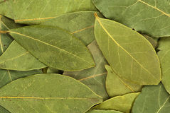 Dry bay leaves Stock Images