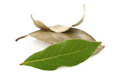 Dry bay leaves and fresh bay leaves Stock Images