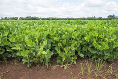 Dry bean field stock photography