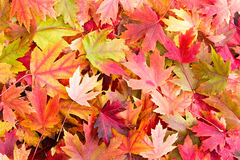 Dry Bed of Colorful Autumn Leaves on the Ground Royalty Free Stock Photos