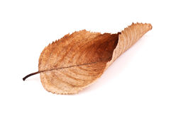 Dry beech leaf Royalty Free Stock Images