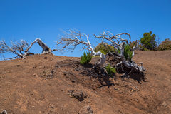 The dry bent trees on the desert earth. The dried-up bent trees on the desert red earth against the goluboky sky it is high in mountains on Madeira. Row some Royalty Free Stock Image