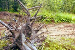 Dry a big snag in the forest stock images
