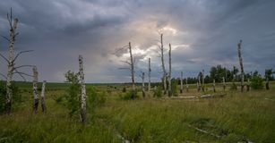 Dry birch on a background of thunderstorms. royalty free stock image