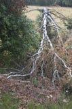 Dry birch tree Royalty Free Stock Image
