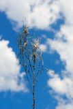 Dry blade of grass. On a background of blue sky and clouds Royalty Free Stock Photo