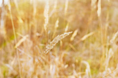 Dry blade of grass in the sunset light on a field, nature background Royalty Free Stock Image