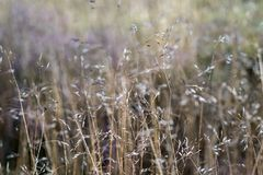 The dry blossoming grass Royalty Free Stock Images