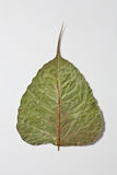 Dry bo leaf. Bo leaf is meaning tree for Buddha Stock Photo
