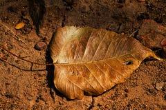 Dry Bo leaves Stock Photo