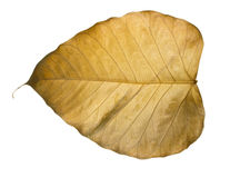 Dry Bo leaves isolated Royalty Free Stock Images