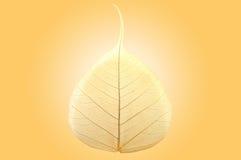 Dry bodhi leaf Royalty Free Stock Photo