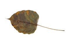 Dry bodhi leaf Stock Photography