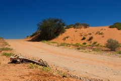 Dry bones lay next to a road in the Kgalagardi dunes Royalty Free Stock Photo