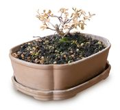 Dry Bonsai Tree in Flower Pot on White Background royalty free stock photography