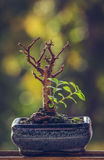Dry bonsai tree with fresh green sprigs Stock Photography