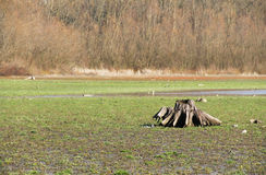Dry bottom of a pond. Old stump on the revealed bottom of dry pond covered with grass Stock Image