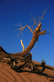 Dry branch in desert. A dry branch in the desert Royalty Free Stock Images