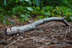 Dry Branch on Forest Background stock photo