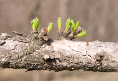 Dry branch with green leaves #2 Royalty Free Stock Photos
