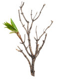 Dry branch with leaf buds Royalty Free Stock Image