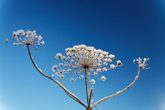 Dry branch plants with frost against a  sky Royalty Free Stock Photos