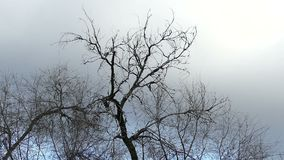 Dry branch of a tree against a gray sky overcast stock footage