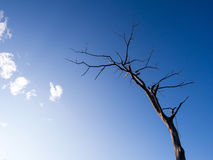 Dry branch tree under blue sky Stock Photography