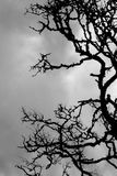 Dry branched of dead tree. In black and white. Dramatic and sad Stock Photos