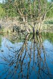 Dry branched tree with cracks in the trunk stands in blue water marshland with dry grass and green forest. Nature abstract background Royalty Free Stock Photo