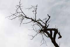 Dry branched tree under blue sky Stock Photos