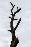 Dry branched tree Royalty Free Stock Photography