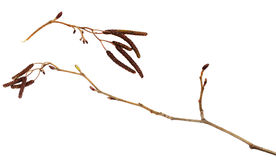 Dry branches of birch with catkins Royalty Free Stock Image