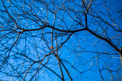 Dry branches in blue sky. Abstract of dry branch on blue sky background with red leaves on branches. select focus Royalty Free Stock Images