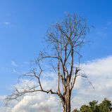 Dry branches in the blue sky background Stock Image