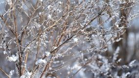 Dry branches of field siberian grass covered with frost and slightly moving from the wind stock footage