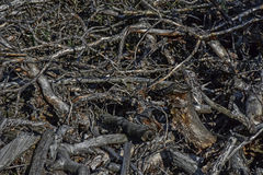 Dry branches. Dry pine branches in the forest, swept after deforestation Stock Photos