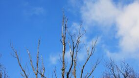Dry branches of a tree sway in the wind against a blue sky . Dry branches of a tree sway in the wind against a blue sky with clouds stock video footage
