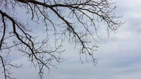 Dry branches of trees without leaves. Nature forest against sky the gray. Dry branches of trees without leaves. Nature forest against sky gray stock footage