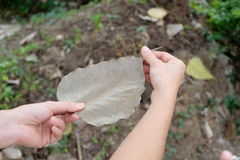 Dry brown Bo leaf in ladys hand. Stock Photos