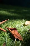 Dry, brown chestnut leaves lie on the grass. Close angle stock photo