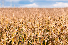 Dry brown corn stalks on blurred field Royalty Free Stock Images
