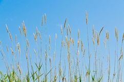 Dry brown grass Royalty Free Stock Images